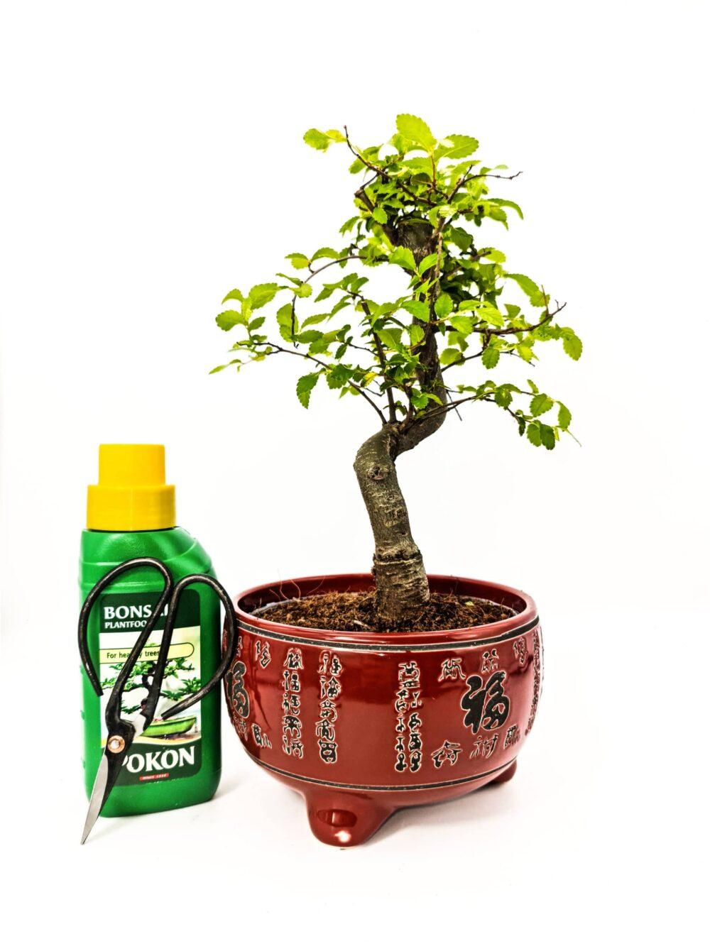 Chinese Elm Kit Red Pot