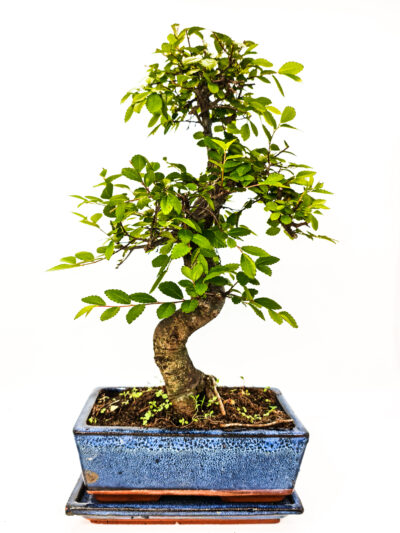 Medium Chinese Elm S Trunk Bonsai Tree in 20cm Blue Ceramic Pot