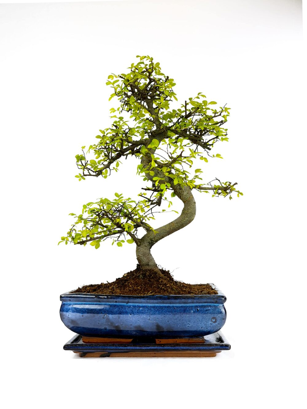 Large Chinese Elm S Trunk Bonsai Tree in 25cm Blue Ceramic Pot
