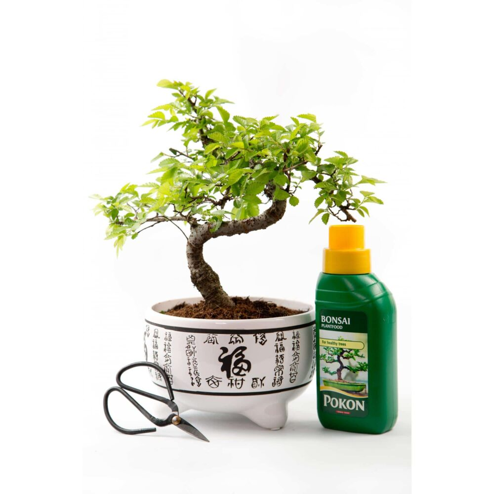 Chinese Elm Kit White Pot