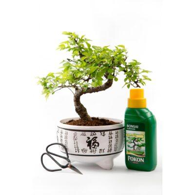 Chinese Elm Kit White Pot