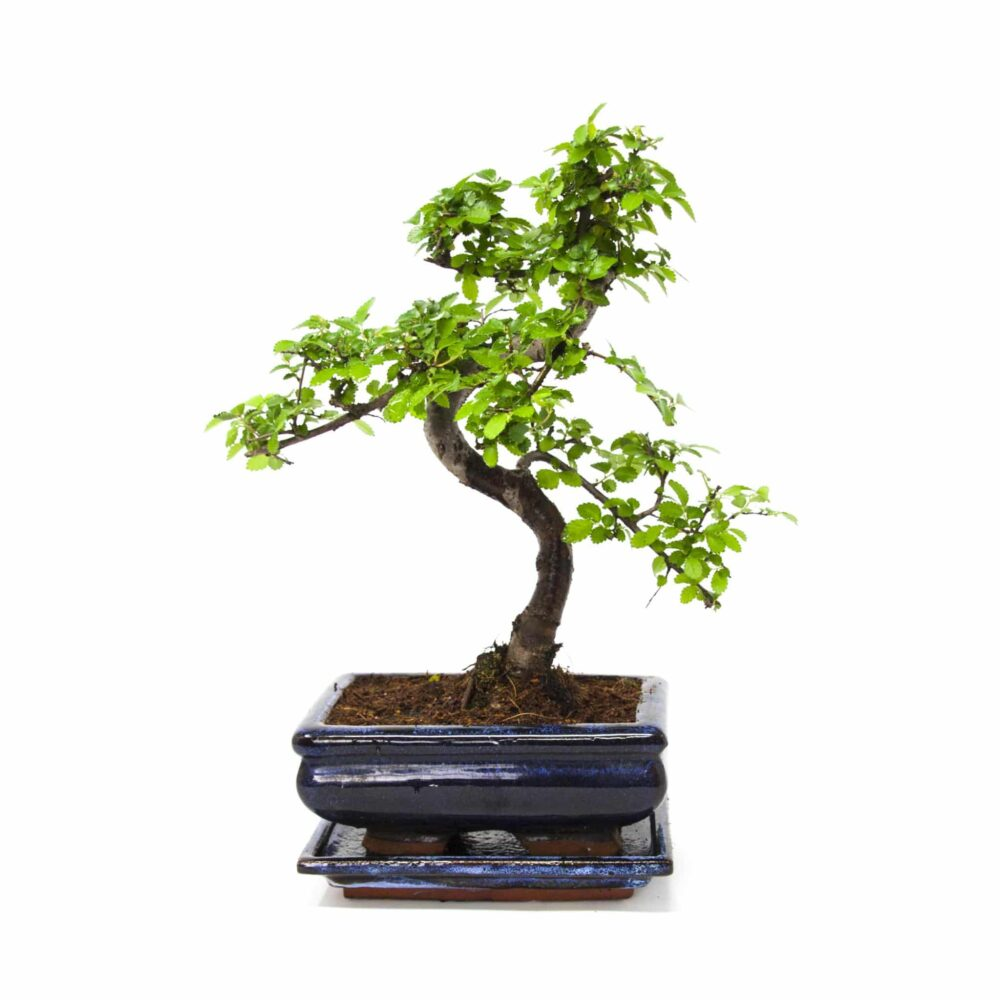 Chinese Elm, 25-30cm Tall With Matching Ceramic Tray