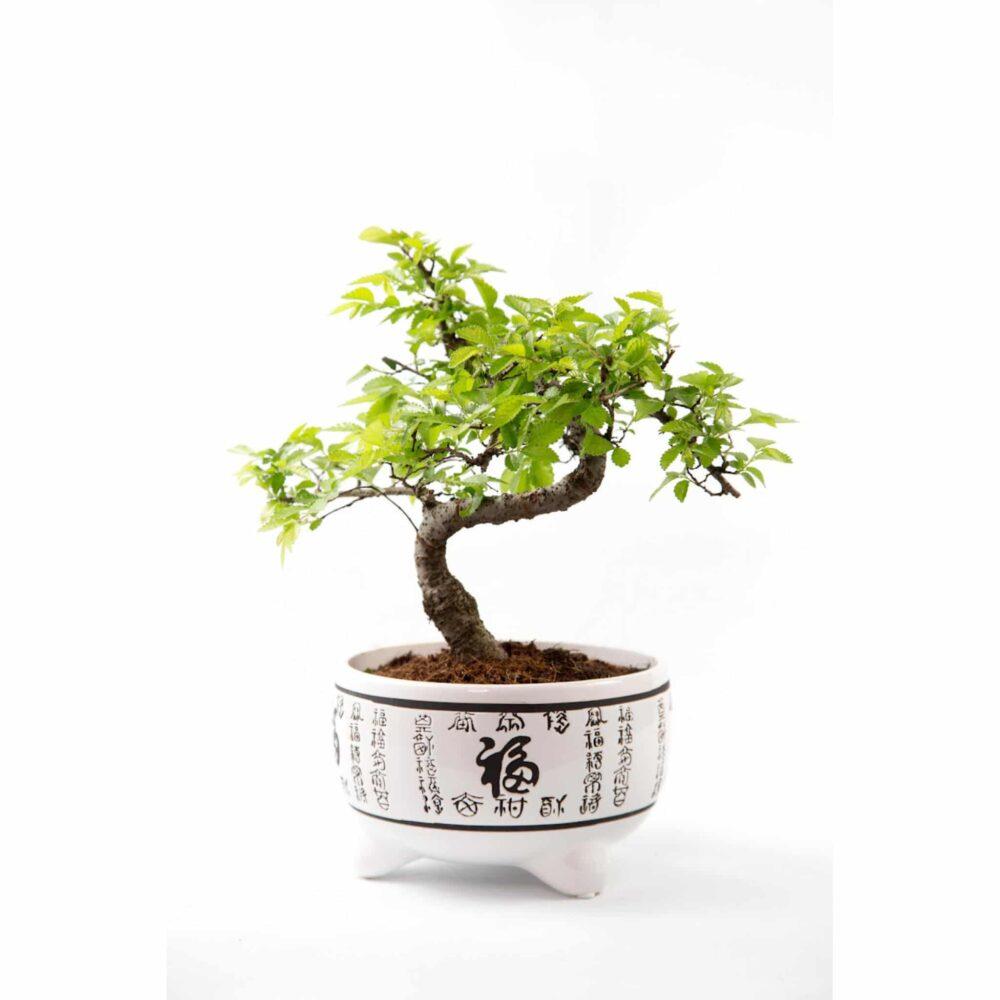 Chinese Elm White Pot
