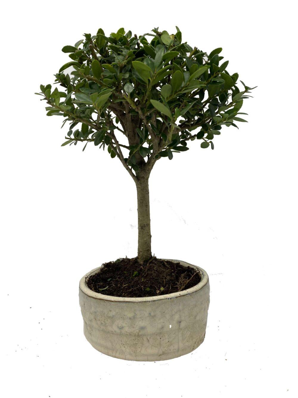 ilexbroom bonsai tree